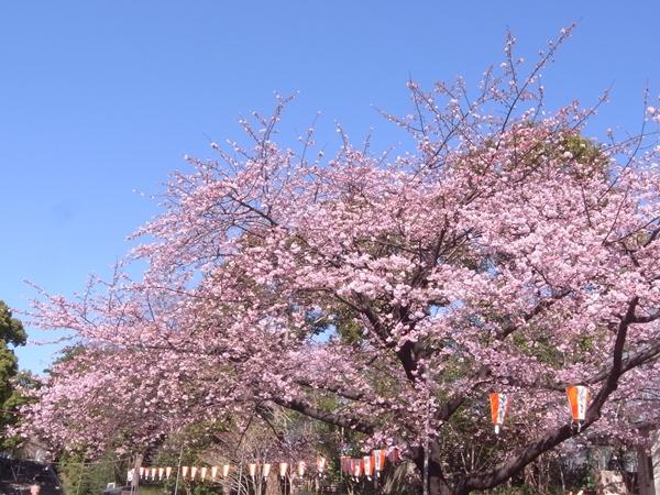 寒桜その1