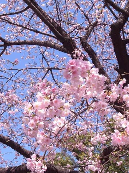 寒桜その2