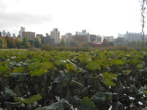不忍池、ハスの葉
