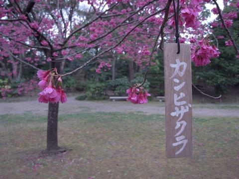 清澄庭園、寒緋桜