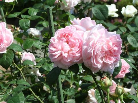 古河庭園のバラ