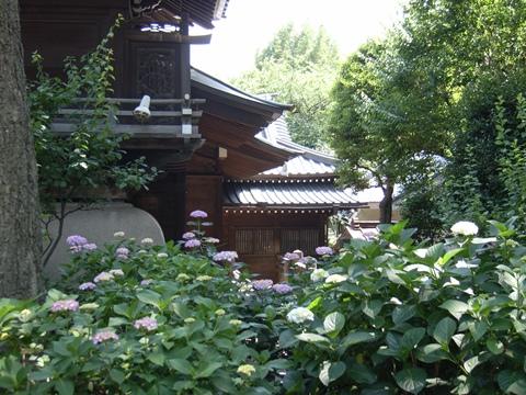 白山神社、文京あじさいまつり5
