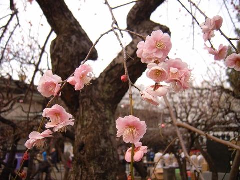 湯島天神、梅の開花情報
