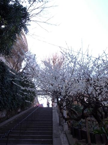 湯島天神、梅まつり2013年の様子