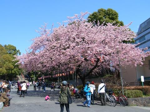 上野公園のオオカンザクラ