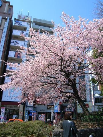 上野恩賜公園、入口付近の寒桜