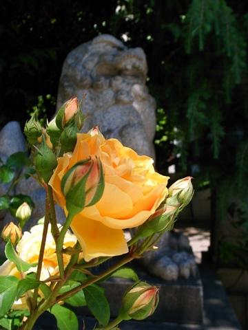 天祖神社の薔薇