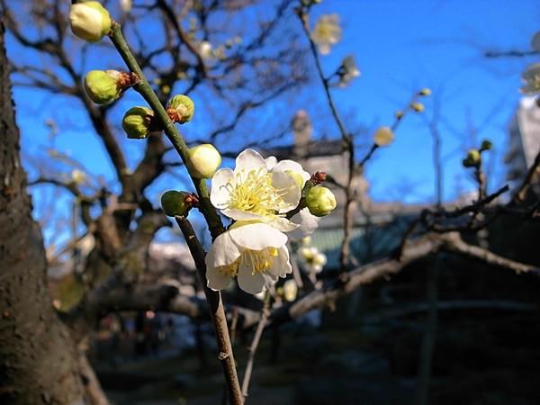 湯島天神の白梅(2015/2/10)