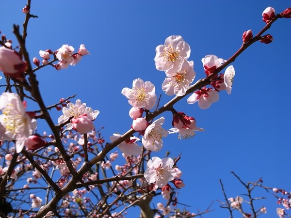 湯島天神、梅まつり