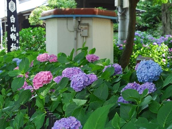 白山公園の紫陽花