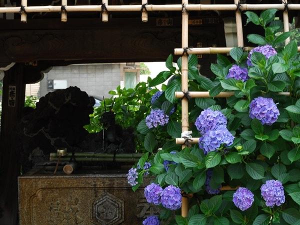 白山神社、境内の紫陽花