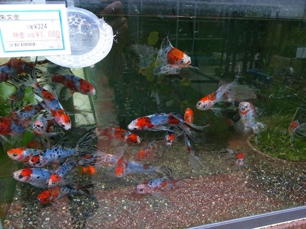 市ヶ谷フィッシュセンターの金魚、熱帯魚