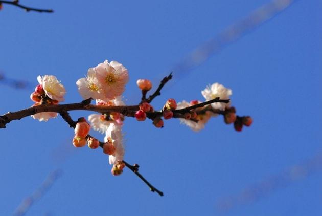 2月半ばの梅は、まだ4分咲き