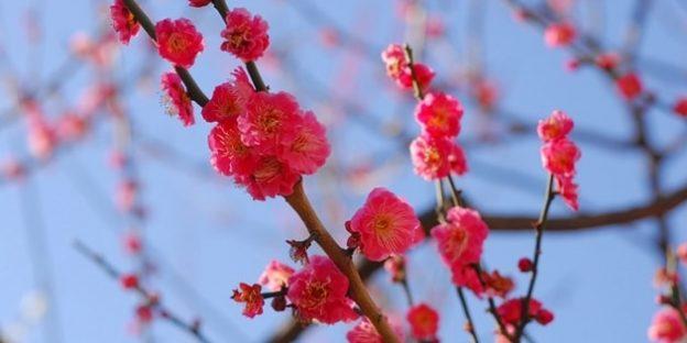 ピンクの梅と晴れた冬の空